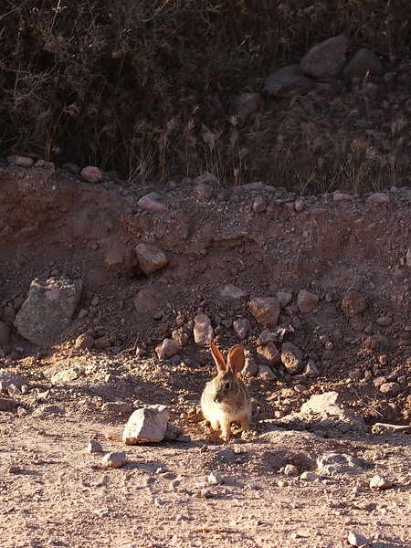 Roadside Rabbit