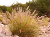 Invasive Fountain Grass