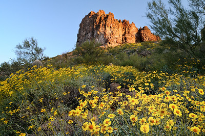 Superstition Wildflowers