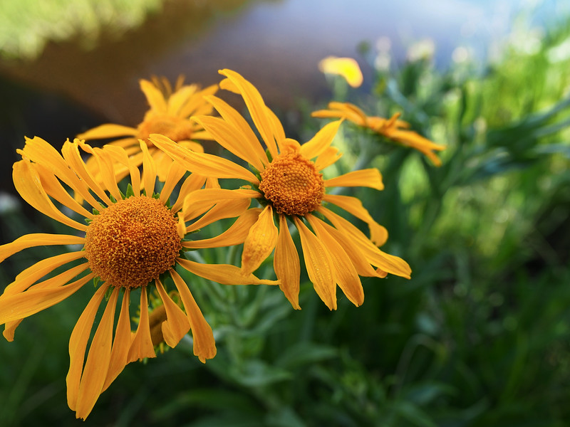 Sneezeweed in the shade<br /> Black River