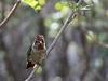 Hummingbird on a branch