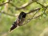 Final Hummingbird