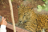 A very laid back Jaguar