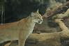 A somewhat friendly puma