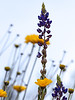 Marigolds & Lupine