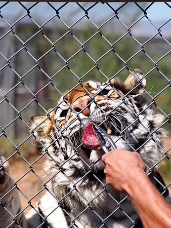 Tiger Treat