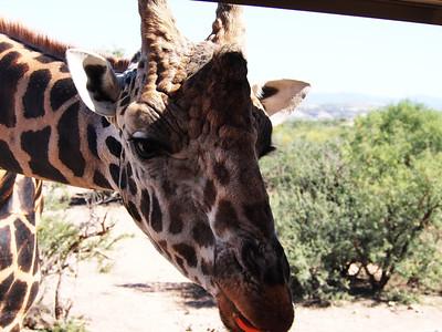 Giraffe Snacks